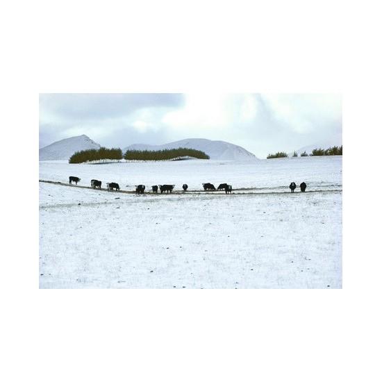 11 Cows in snow near Queenstown