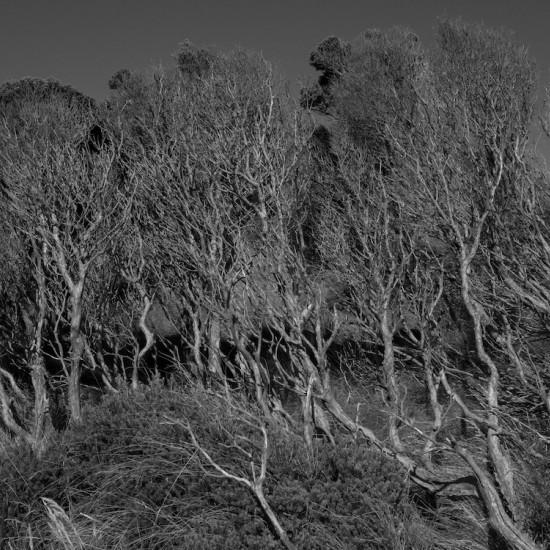 The smallest measure (Melaleuca ericifolia), Cape Grim, lutruwita:Tasmania Edition 1/5 + 2AP