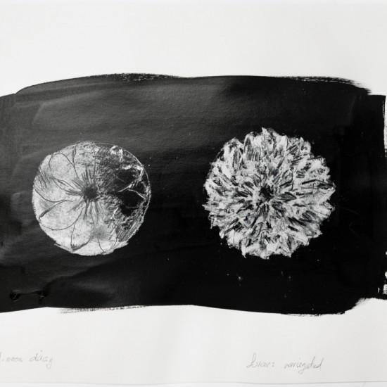 Half moon daisy, Lunar Variegated